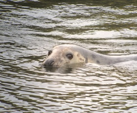seal-6