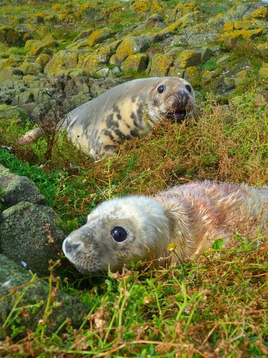 seal-pup-2