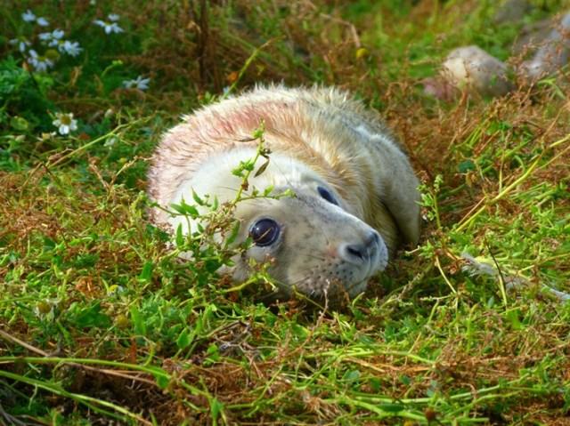 seal-pup-3