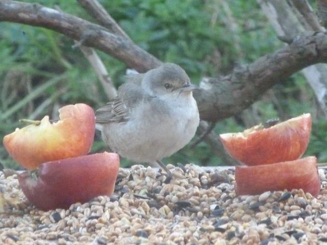 barred-warbler-birdtable