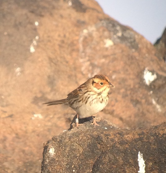 ringed-little-bunting
