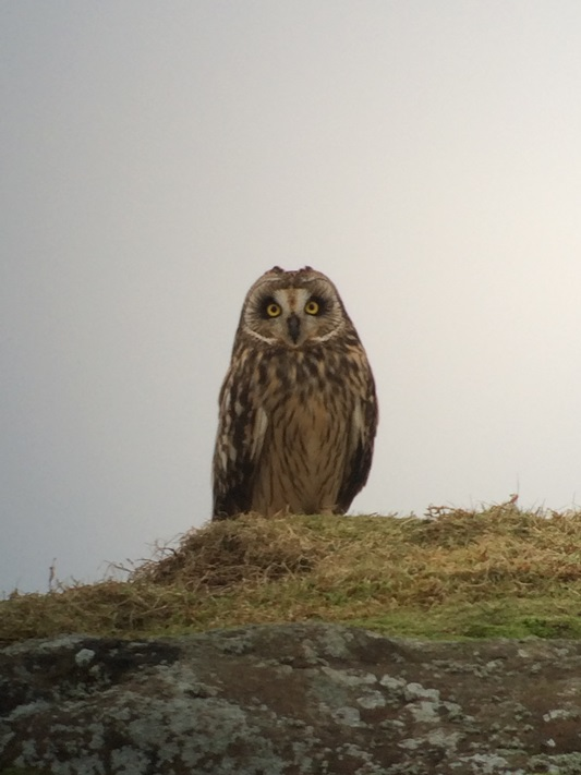short-eared-owl-ds