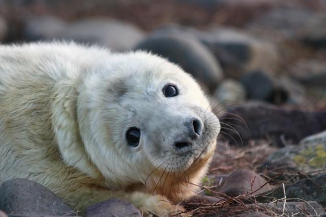 pups-seal-1