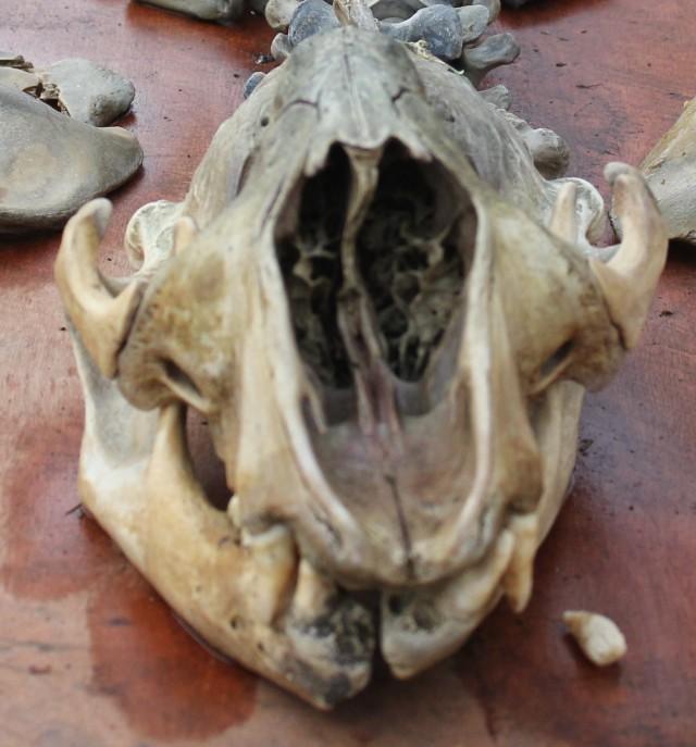 skull-nose