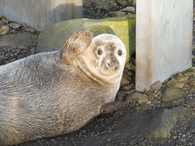 seal-pup-2-vh
