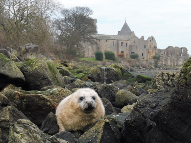 seal-pup-on-inchcolm
