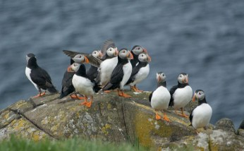 1 Puffins on rock