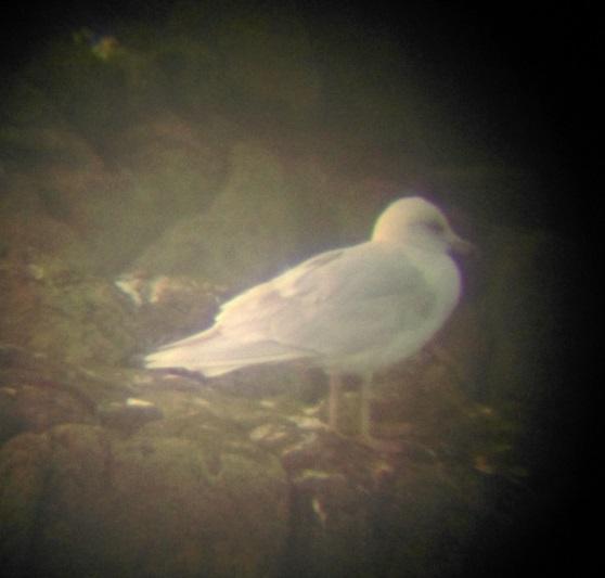 isleand-gull-mn