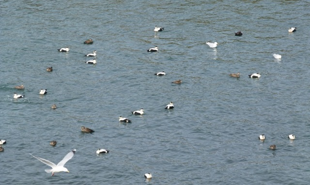 Eiders galore