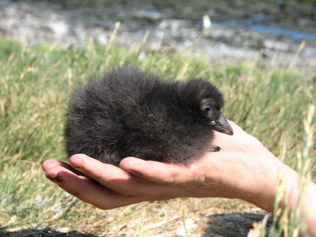 2 Puffin chick