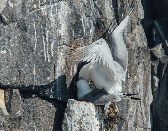 Kittiwake copulatiing (JOe Turner