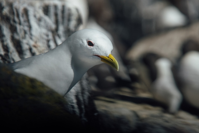Kittiwake (Joe Turner)