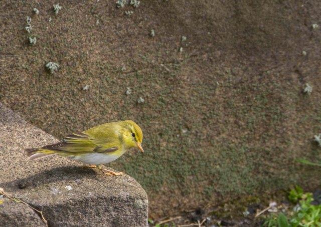 WooD Warbler (JC)