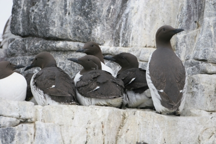 2 Guillemot on ledge