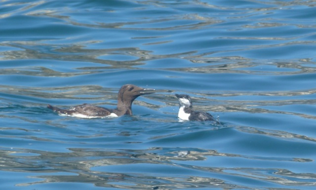 4 Guillemot with young on sea