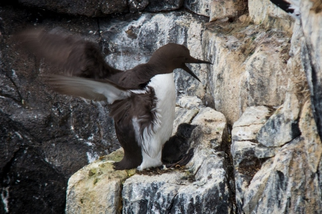 Guillemot with chick Joe Turner