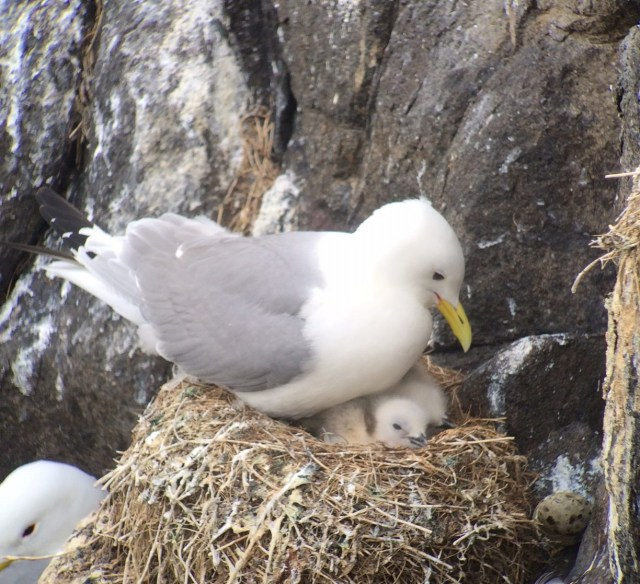 Kittiwake at nest