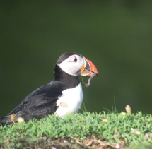 Puffin 1 nest material