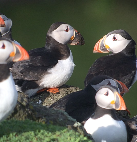 Puffin 2 nest material