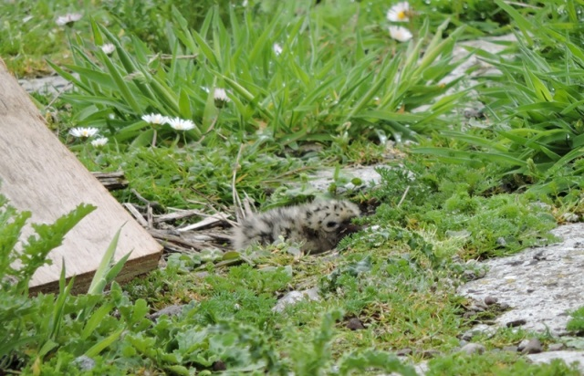 Tern chicke