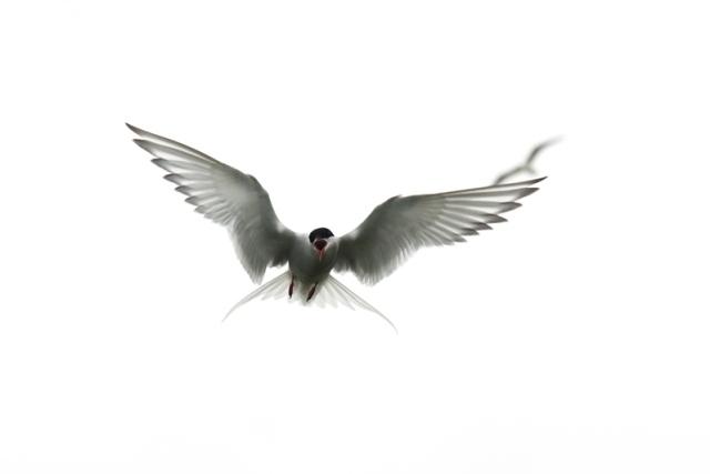 Tern (Joe Turner CEH)