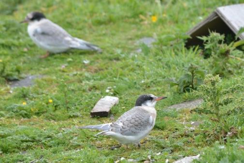Tern Photo