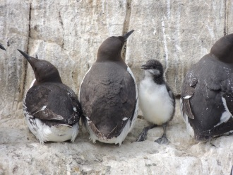 Guillemot with chick