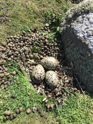 A nest made from rabbit droppings