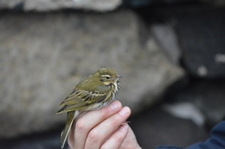 Olive-backed Pipit (Bex Outram)