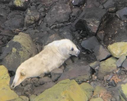 Seal Pup Mildoor 2