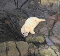 Seal Pup Mildoor