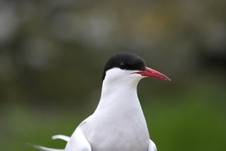Arctic tern 182