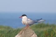Arctic Tern (DS)