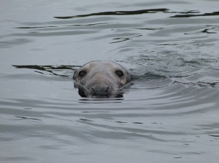 Bull seal in water