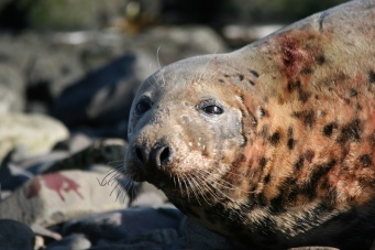 Seal mum 2