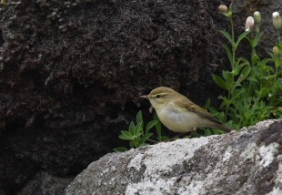 Greenish Warbler (Scott Jones)a