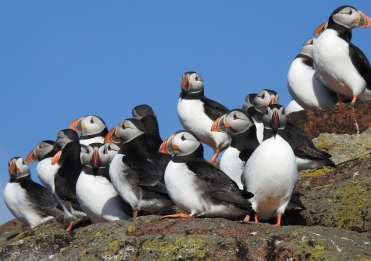 puffin grouyp 1