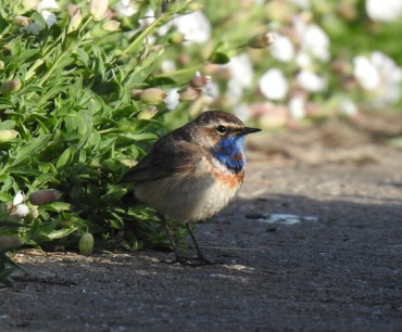 3 Bluethroat