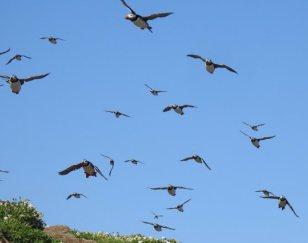 7 puffins flight