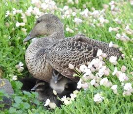 Eider ducklings