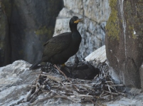 Shag with small chicks