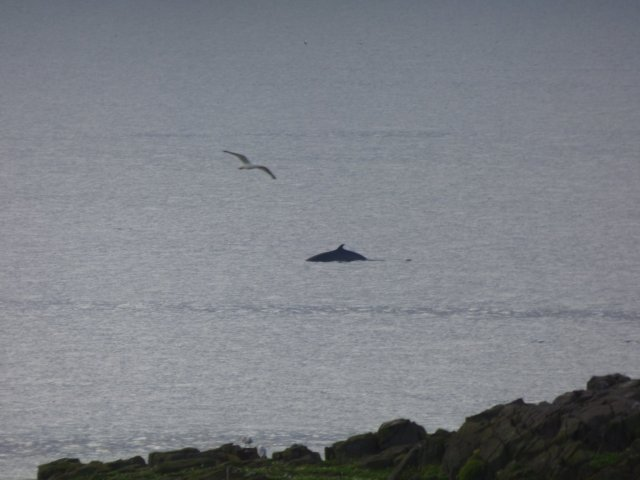 Minike Whale (GR)
