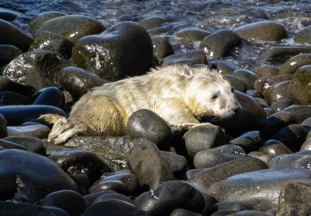 First seal pup (down sized)