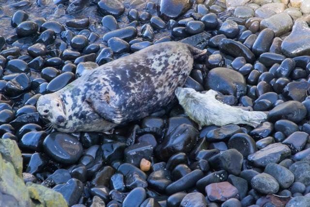 Sam LL Seal Pup (2)