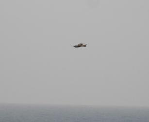 1 Red Kite