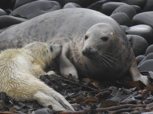 2 Seal mum and pup