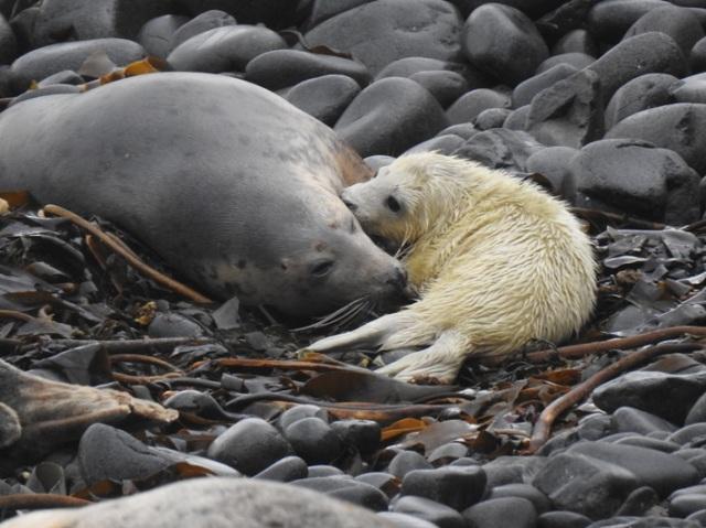4 Seal mum and pup
