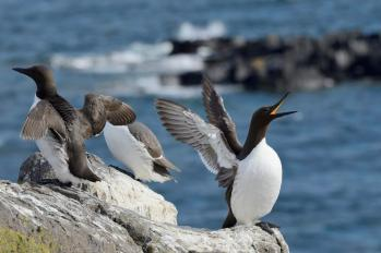 Guillemots (Uria aalge), Isle of May National Nature Reserve. ©Lorne Gill/SNH