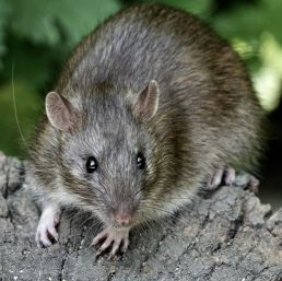 brown-rat-royalty-free-image-1004263036-1567093317