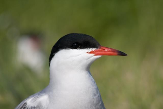1 Common tern